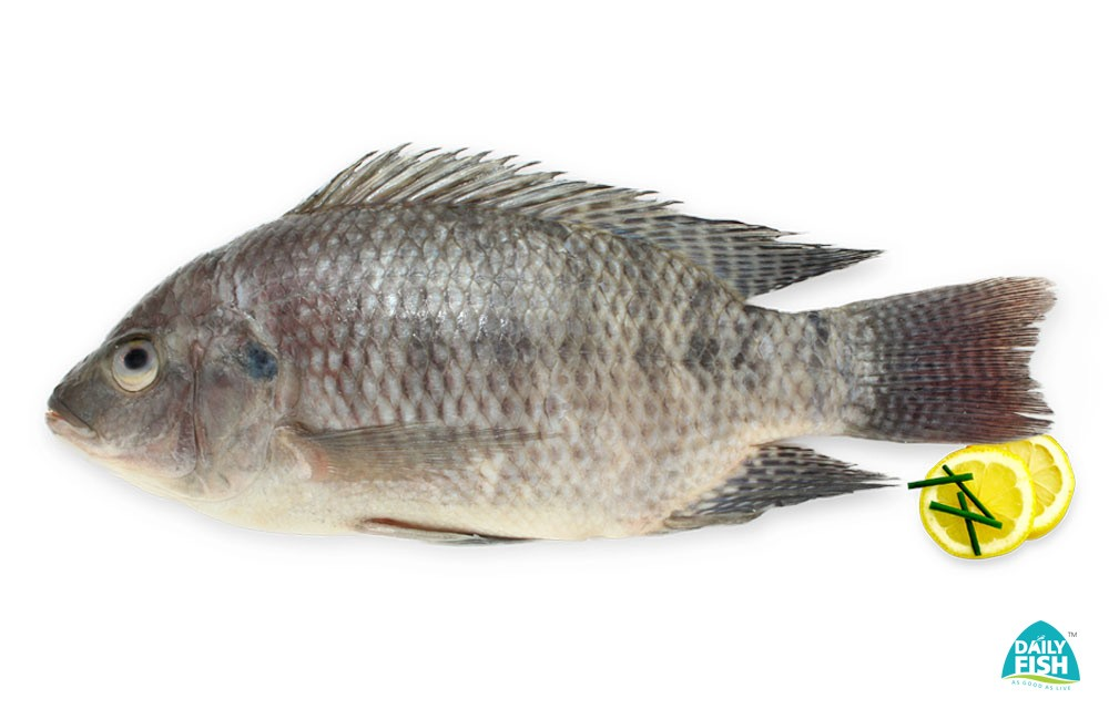 Tilapia Fresh Water Fish Fresh Water Fish